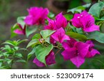 Pink Bougainvillea Flower With...