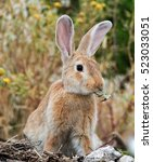 Small photo of Low angle view of a really pretty and cute bunny rabbit with big ears and a leaf in mouth standing on the field.Blurred background