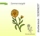 medicinal plant calendula... | Shutterstock .eps vector #523058257