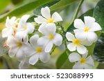 frangipani flower | Shutterstock . vector #523088995