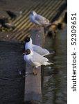 Black Headed Gulls Roosting...