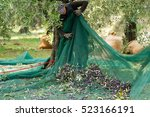 Olive Picking  Using The Net