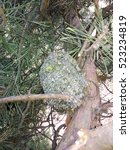 Small photo of Aegithalos caudatus. The nest of the Long-tailed Tit in nature. Moscow region, Russia