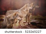 pack of wolf in the autumn... | Shutterstock . vector #523265227