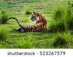 royal bengal tigress named ... | Shutterstock . vector #523267579