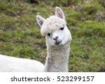 alpaca white portrait    Shutterstock . vector #523299157