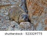 rock hyrax   Shutterstock . vector #523329775