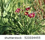 Beautiful Red Daylily Flower I...