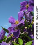 flowers of clematis against a... | Shutterstock . vector #52336594