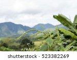 Small photo of Amaranth, Green Amaranth (Amaranthus gracilis Desf.).
