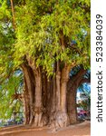 Small photo of The Tree of Tule (El Arbol de Tule), Montezuma cypress or ahuehuete in Nahuatl. UNESCO World Heritage
