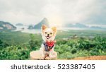adorable chihuahua puppy... | Shutterstock . vector #523387405
