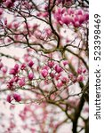 magnolia flower tree  selective ... | Shutterstock . vector #523398469