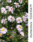 Small photo of Aster alpinus or alpine aster many purple flowers