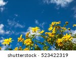 mexican sunflowers on the... | Shutterstock . vector #523422319