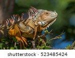 Green Iguana (Iguana iguana), Tavernier, Key Largo, Florida