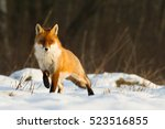 mammals   red fox  vulpes... | Shutterstock . vector #523516855