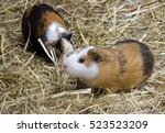 Couple Of Guinea Pigs Kind Of...