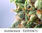 Cannabis Trichomes Macro Photo...