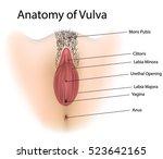 Vagina Medical Illustration