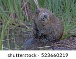 closeup beaver sit near a pond... | Shutterstock . vector #523660219