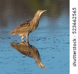 Small photo of American Bittern with Reflection