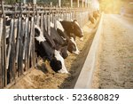 Close Up Of Cows In A Farm Wit...