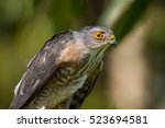 Small photo of Closeup Besra or Little Sparrow Hawks (Accipiter virgatus)