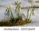 Gentle Snowdrops Flowering Fro...