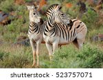 Two Plains  Burchells  Zebras ...