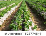 Strawberry Field  Agriculture...