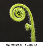 Small photo of fiddle head fern isolated on black background