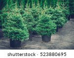 Christmas Trees In Pots For...