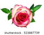 rose isolated on the white... | Shutterstock . vector #523887739