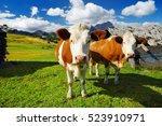 Cows In Seiser Alm  The Larges...