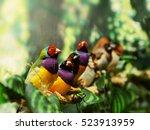Gouldian Finch Exotic Bird