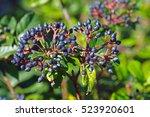 This Is The Wild Plant Viburnu...