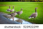 Geese On Green Meadow.  Geese...