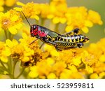 The Bicolor Grasshopper  Also...