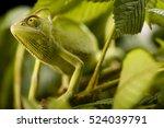 Camouflaged Green Chameleon...