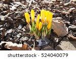 Yellow Fresh Crocus Flowers...