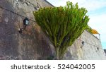 Small photo of Ficus, palm tree against the wall. Villefranche-sur-Mer, citadel, France.