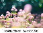 Globe Amaranth    Flowers ...