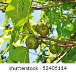 Figs On Fig Tree