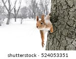 Curious Red Squirrel Sitting O...