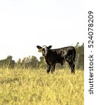 Black Angus Crossbred Calf In ...
