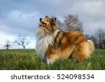 Long Haired Gold Rough Collie...