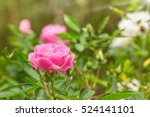Stock photo pretty pink rose in the garden 524141101