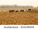 herd of cows're walking on...   Shutterstock . vector #524158444