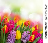 pink and violet hyacinths with... | Shutterstock . vector #524240569